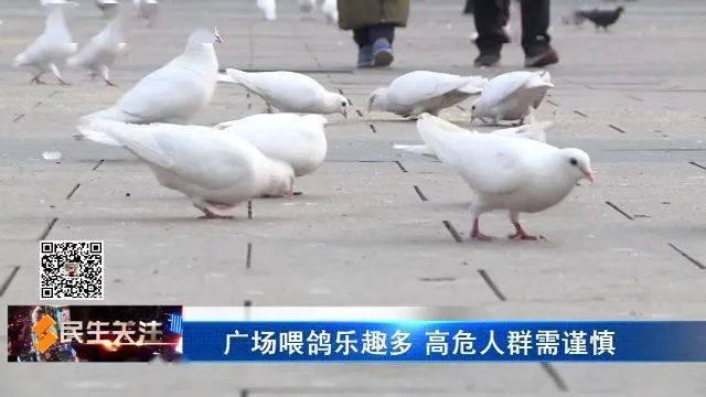 广场喂鸽乐趣多 高危人群需谨慎