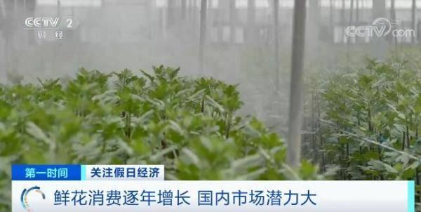 长三角区域的菊花正处于种植旺季
