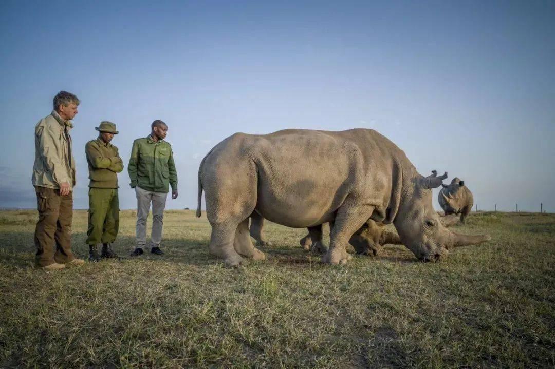 盛图平台地球上仅存的两头北部白犀牛,正在等待奇迹的降临 (图2)