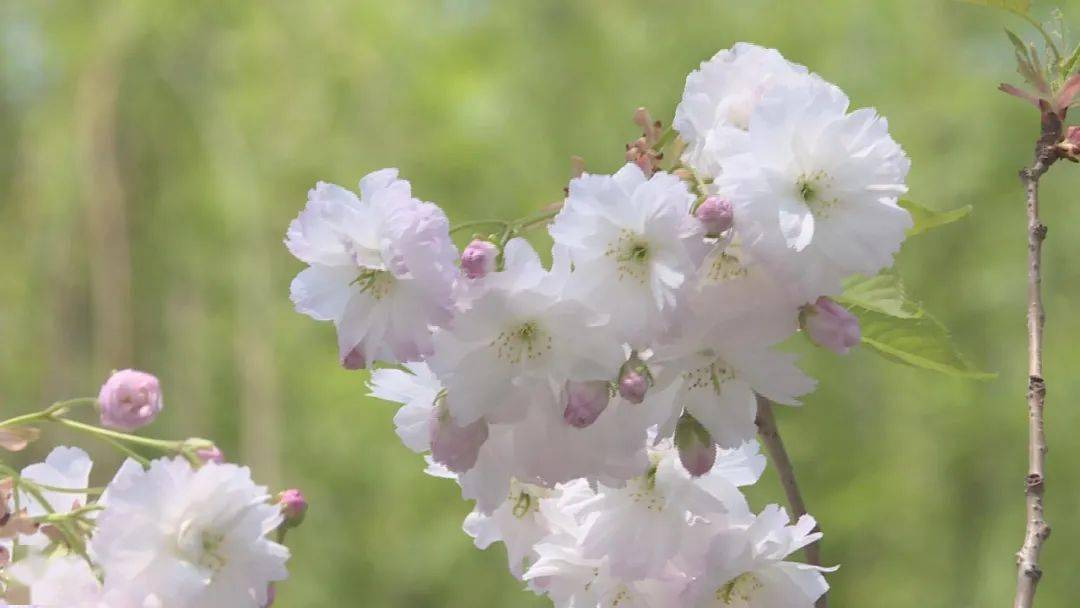 游客纷至沓来!省会栾城区樱花朵朵开~~