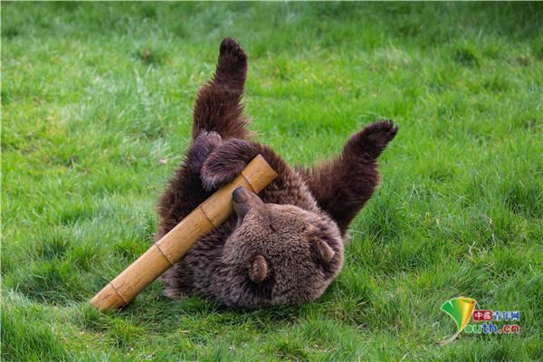 英国动物园棕熊从冬眠苏醒 外出活动嬉戏玩耍