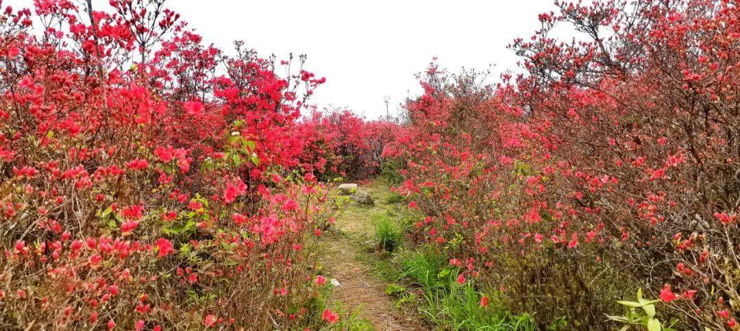 美得摄魂!三明这15公顷的杜鹃花已绽放成海!再不打卡就晚了