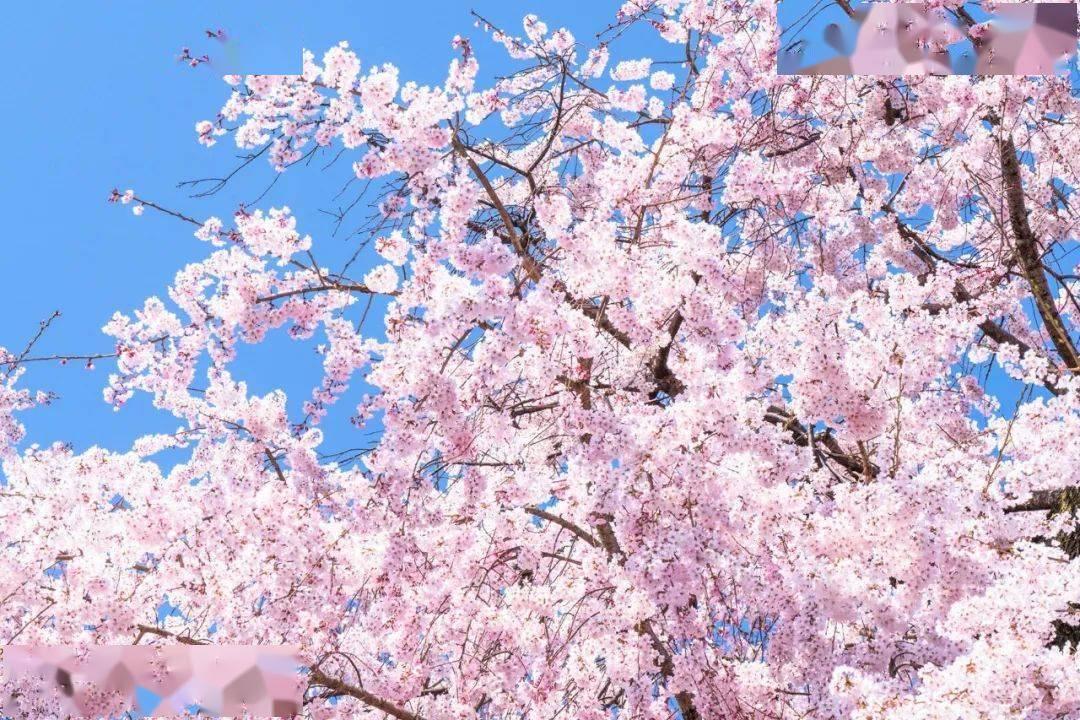 春日感受樱花之美,究竟何为赏樱?