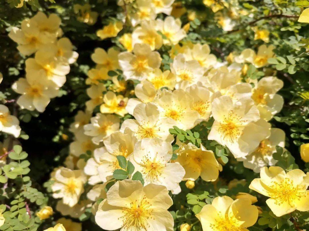 快去打卡!邢台这里的黄刺玫花开正艳