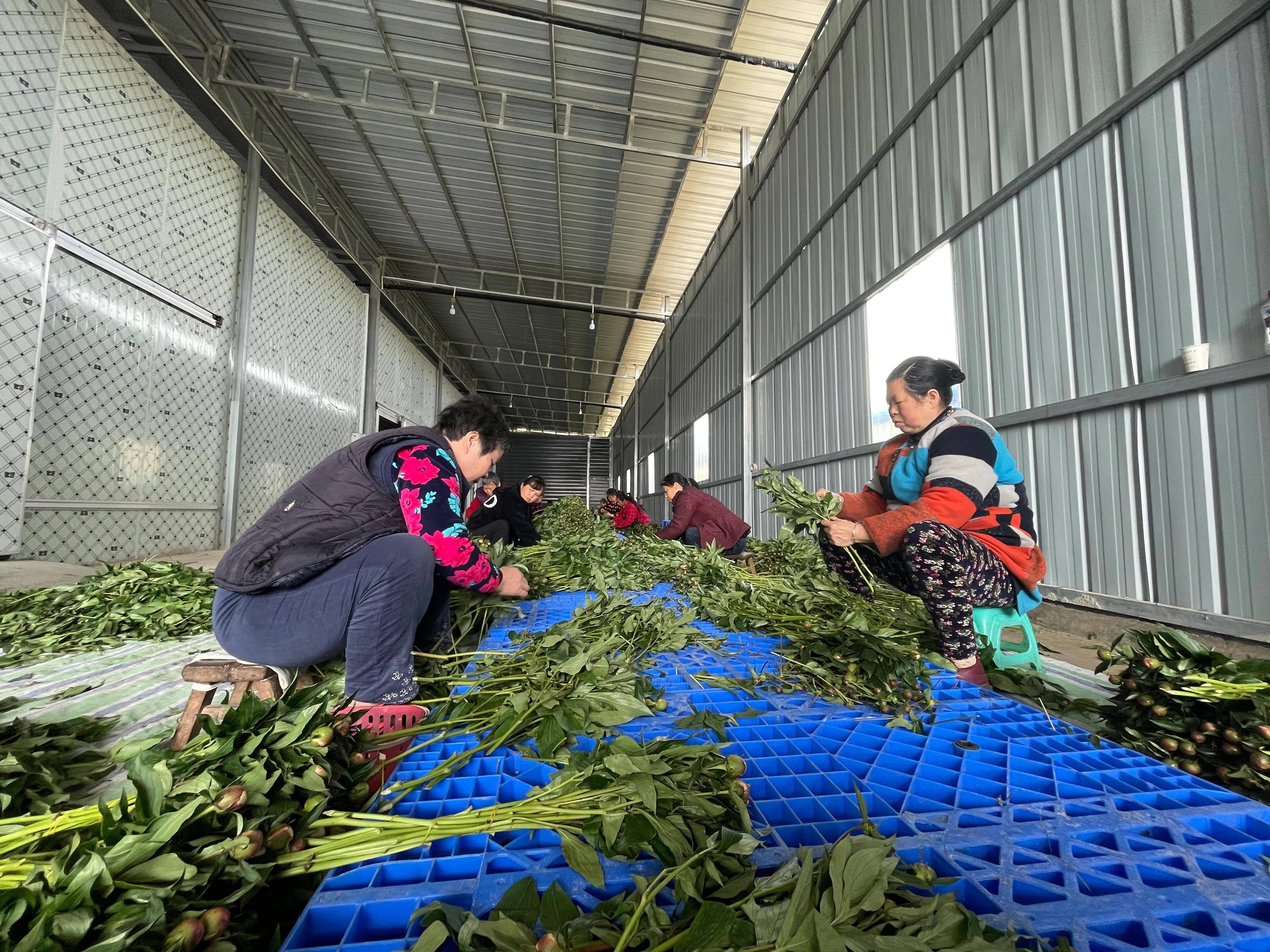 可观赏可入药 中江县尖寨村500余亩芍药进入盛花期
