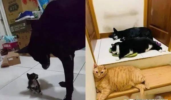 宾士猫从小被狗带大,4年后逐渐狗狗化,饲主直呼:居然比狗大只!