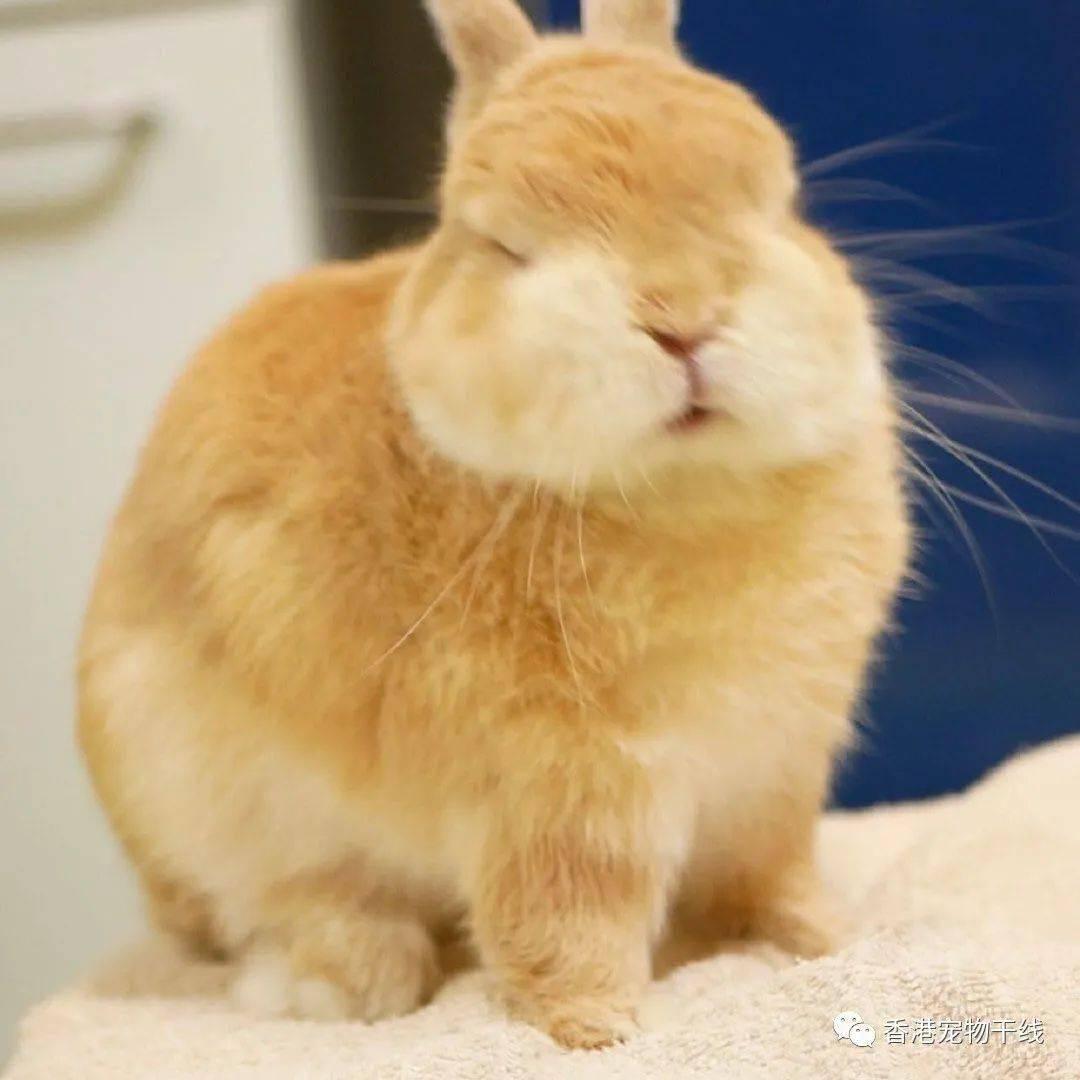 一只脸色充分的吐舌头兔兔
