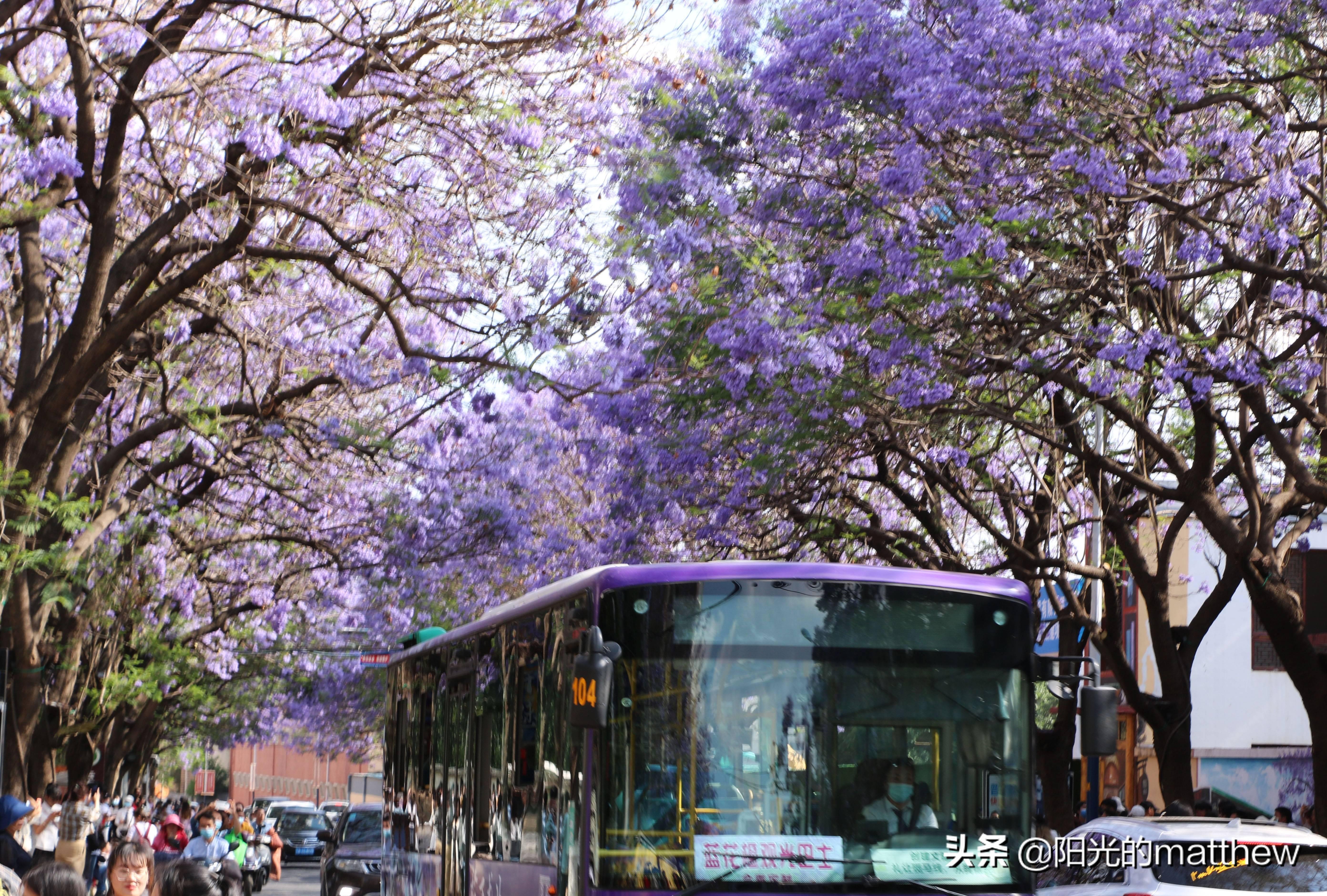 昆明:教场中路蓝花楹盛开,花潮人流汇成一幅美丽图景