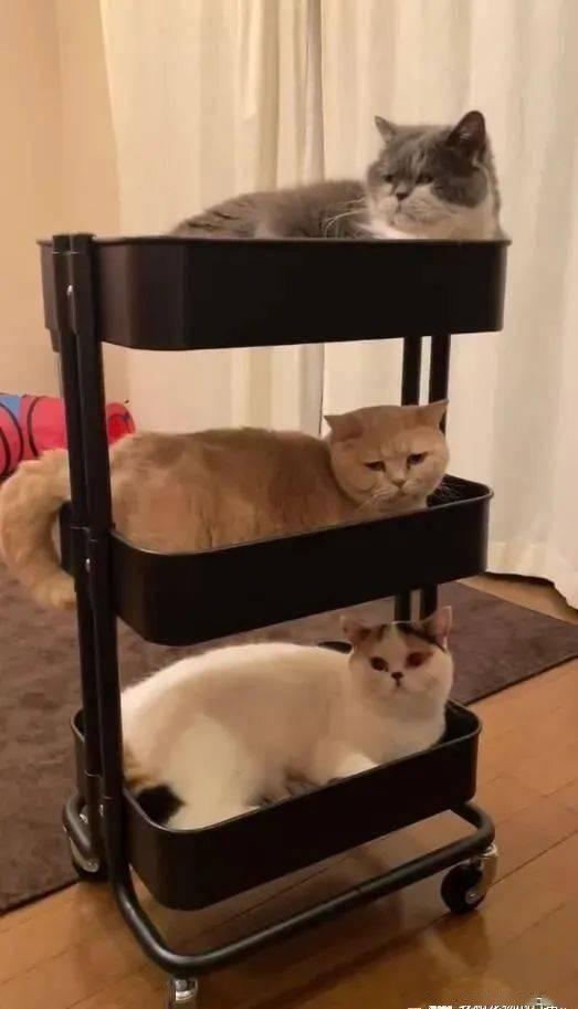 三层推车被挤满,摇身变成猫咪大楼,网笑:使用方式正确!
