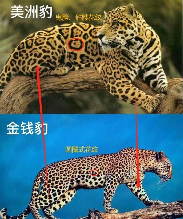 网传群狗撕咬豹子视频惠仲娱乐注册非搜捕款项豹现场,专家