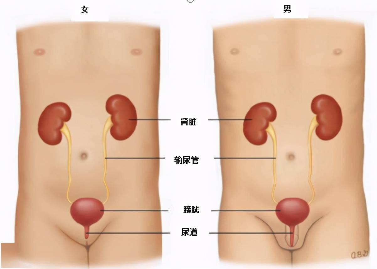泌尿道感染的最佳自然辅助疗法  尿道感染最快治疗方法