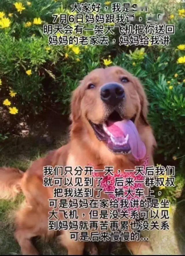 金毛犬托运途中死亡宠物托运公司被指擅自将空运改陆运 市场监管部门已介入