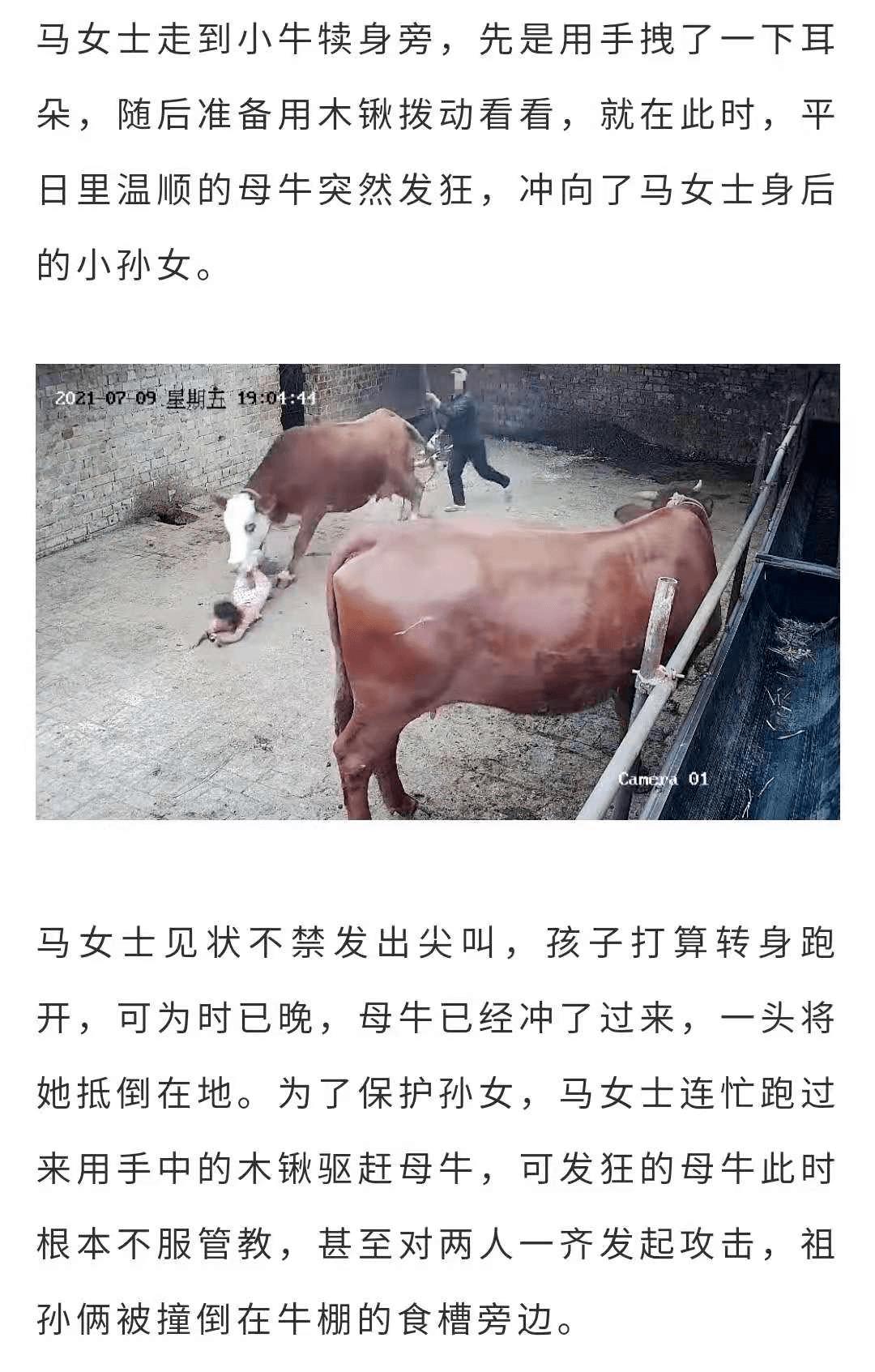 """惊险!村民家中母牛分娩后突然发狂,冲向四岁小女孩!"""""""