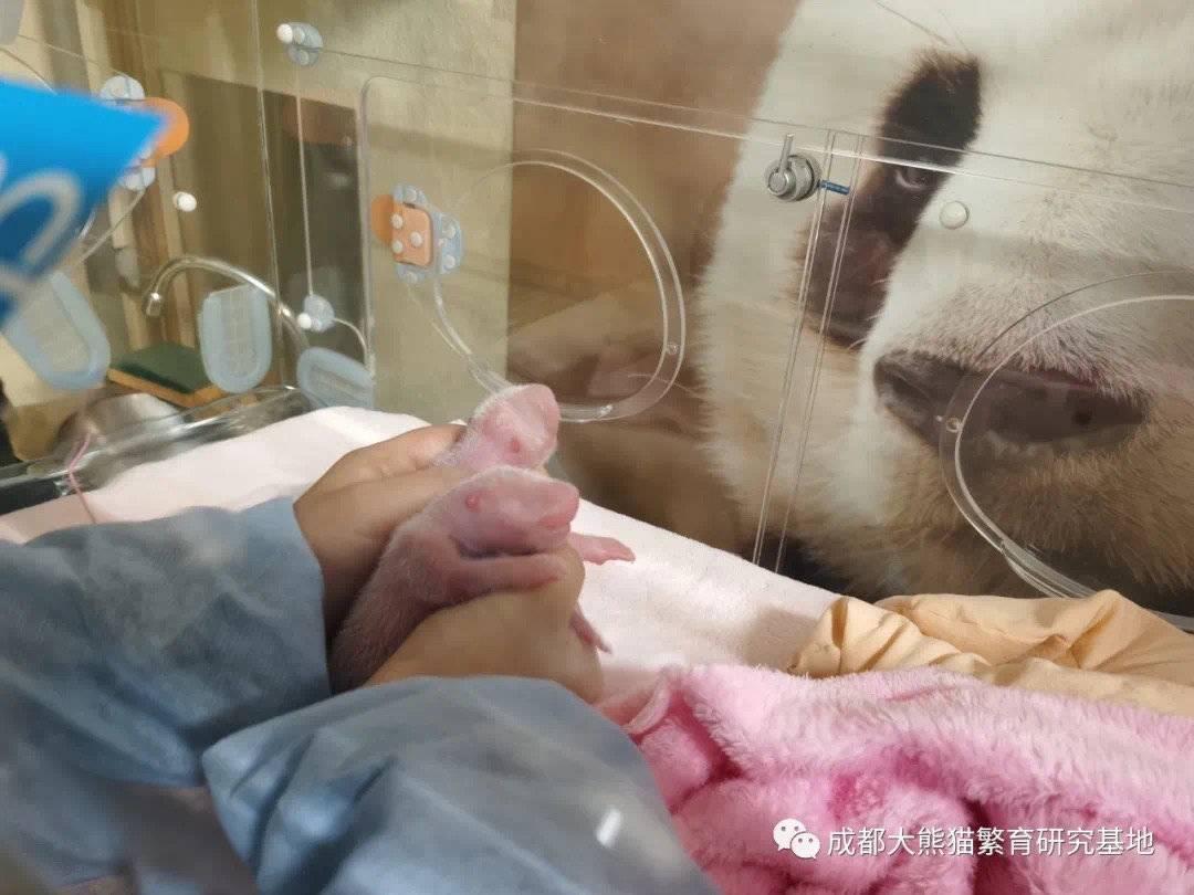 """旅法大熊猫""""欢欢""""产下双胞胎 这群成都医护人员功不可没"""