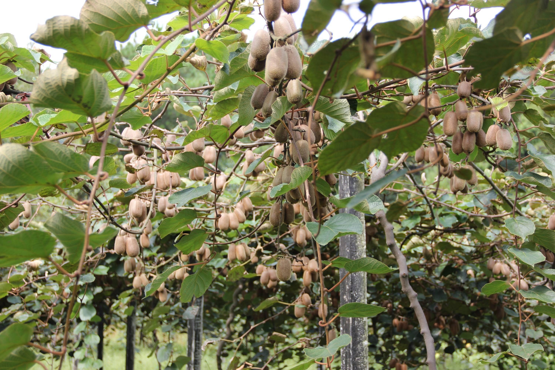 黔西市莲城街道:猕猴桃喜获丰收 游客采摘乐