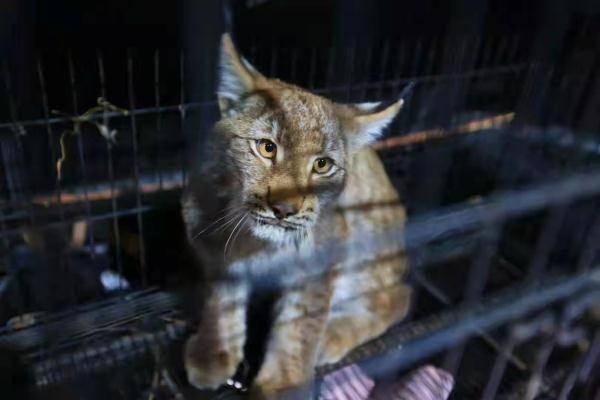"""恒宏首页好凶的""""大猫""""!保护动物猞猁闯民宅,被救护后放归自然 (图4)"""