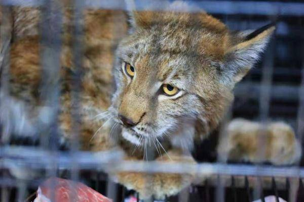 """恒宏首页好凶的""""大猫""""!保护动物猞猁闯民宅,被救护后放归自然 (图5)"""