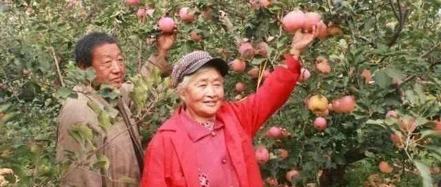 脆!甜!通州西集老俩口家的苹果能采摘了!绝对良心价